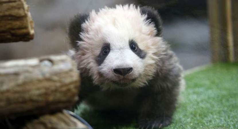 First Panda born in France named Yuan Meng