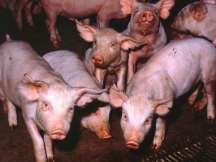 People working in pig farms and consuming pork have high risk of this infection