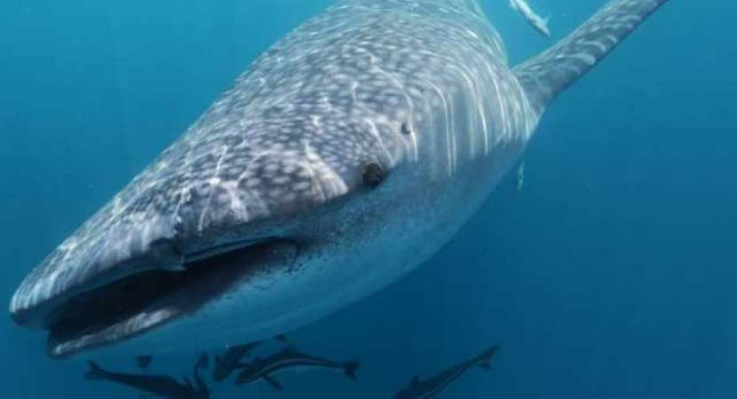 DNA samples seek to uncover whale shark secrets