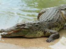 Villagers used machetes, knives and shovels to slaughter 292 crocodiles, ranging from babies to full-grown crocodiles (Representational Image)