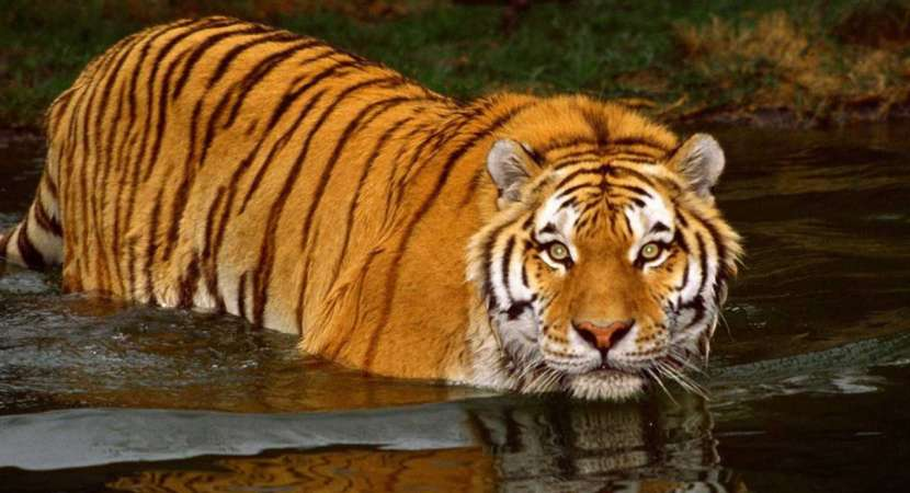 The Sunderbans Royal Bengal is the largest protected area of Tiger