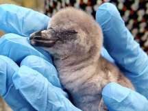 India's first penguin born in Mumbai zoo, named 'freedom baby'