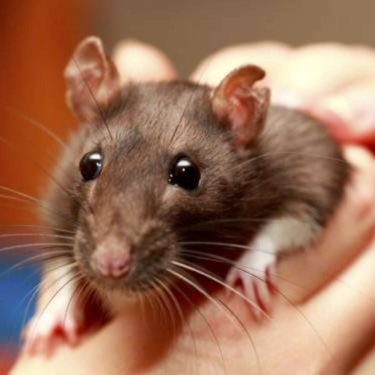 Mouse fever. Symptoms and Prevention 13